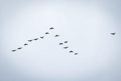 Fågelflyttning Fotografering för Bildbyråer