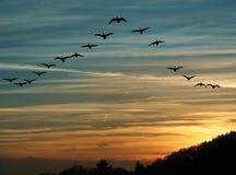 Fågelflyttning på solnedgången Arkivfoton