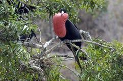fågelfrigate Fotografering för Bildbyråer