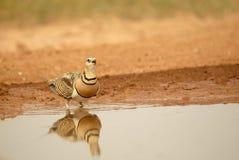 fågelganguesteppe Royaltyfri Bild