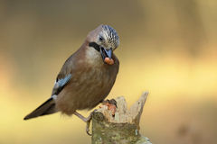 FågelGarrulusglandarius Arkivfoto