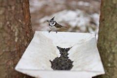 Fågelgrenadjär eller krönad mes royaltyfri foto