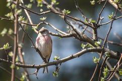 Fågelhämpling på trädet Apple Arkivbilder