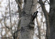 Fågelhackspett i naturlig livsmiljö Hackspetten flyttar sig snabbt till och med träden, finner mat och äter den Solig vårdag i th Royaltyfri Bild