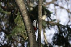 Fågelhackspett i naturlig livsmiljö Hackspetten flyttar sig snabbt till och med träden, finner mat och äter den Solig vårdag i th Royaltyfria Bilder
