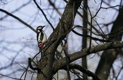 Fågelhackspett i naturlig livsmiljö Hackspetten flyttar sig snabbt till och med träden, finner mat och äter den Solig vårdag i th Arkivbild