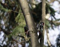 Fågelhackspett i naturlig livsmiljö Hackspetten flyttar sig snabbt till och med träden, finner mat och äter den Solig vårdag i th Royaltyfri Fotografi