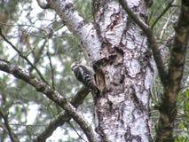 Fågelhackspett på en stam av en björk i ett trä Arkivbild