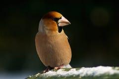 fågelhawfinch arkivbild
