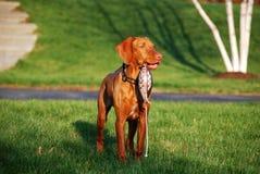Fågelhund i utbildning Royaltyfri Bild