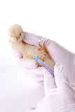 fågelinfluensaforskning Royaltyfri Fotografi
