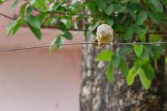 Fågelinställning på kabel, slut upp arkivbilder