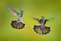 Fågelkamp Flyga kvinnlig kolibri Vit-hånglade Jacobin, Florisuga mellivora, från Costa Rica, klar grön bakgrund actinium royaltyfri bild