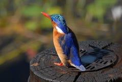 fågelkingfishermalachite Royaltyfri Bild
