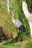 Fågelkolosshägret stod på det gröna fältet Fotografering för Bildbyråer