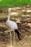 fågelkran stanley Royaltyfri Fotografi