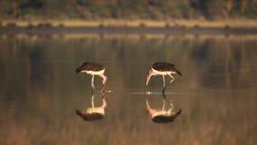 fågellake Arkivbilder