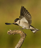 Fågellandning på en filial Arkivbilder