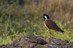 fågellapwing Royaltyfri Fotografi