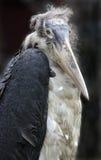 fågelmarabou fotografering för bildbyråer