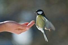 fågelmatning Royaltyfria Bilder