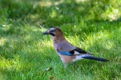 Fågelnötskrika-/Garrulusglandarius Royaltyfri Bild