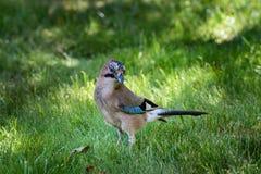 Fågelnötskrika-/Garrulusglandarius Fotografering för Bildbyråer