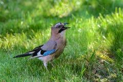 Fågelnötskrika-/Garrulusglandarius Royaltyfri Foto