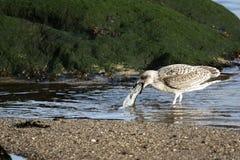 fågeln äter fisken Arkivfoto