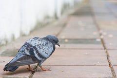 Fågeln av en duvaduvagrå färg färgar att gå på betong Royaltyfri Foto