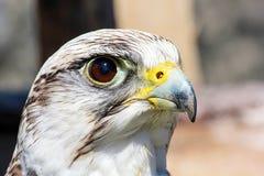 fågeln av rovet är det härliga djuret Arkivbild