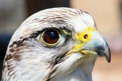 fågeln av rovet är det härliga djuret Arkivfoton