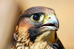 fågeln av rovet är det härliga djuret Arkivfoto