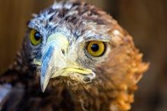 fågeln av rovet är det härliga djuret Fotografering för Bildbyråer