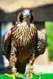 fågeln av rovet är det härliga djuret Royaltyfria Foton