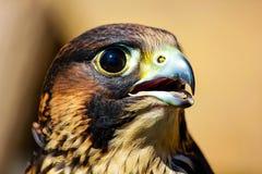 fågeln av rovet är det härliga djuret Arkivbilder