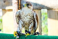 fågeln av rovet är det härliga djuret Royaltyfri Foto