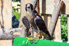 fågeln av rovet är det härliga djuret Royaltyfri Bild