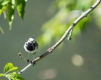 Fågeln av sädesärlan fångade sländan Royaltyfri Fotografi