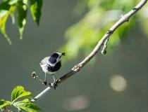 Fågeln av sädesärlan fångade sländan Royaltyfri Foto