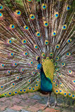fågeln befjädrar hans indiska påfågel som visar proudly royaltyfria foton
