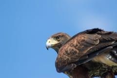 fågeln ber Falk för hök för Haris ` s i slut upp med kopieringsutrymme royaltyfri bild
