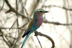 fågeln botswana gick mot lila nationell rulle s för caudatuscoraciasen Fotografering för Bildbyråer