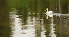 Fågeln för den vita pelikan simmar Yellowstone det lösa djuret för sjönationalparken Royaltyfri Bild