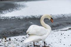 Fågeln för svanen för vinterlandsnö går den vita issjö 10 Arkivbild