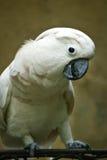 Moluccan kakadua. Royaltyfri Fotografi
