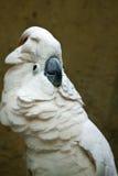 Moluccan kakadua. Royaltyfri Bild
