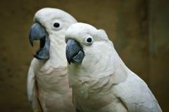 Moluccan kakadua. Royaltyfria Bilder