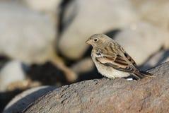 Fågeln (förbipasserande spp.) i den Jokulsargljufur naturen parkerar område, Island Arkivbilder