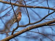 Fågeln förgrena sig på Royaltyfri Bild